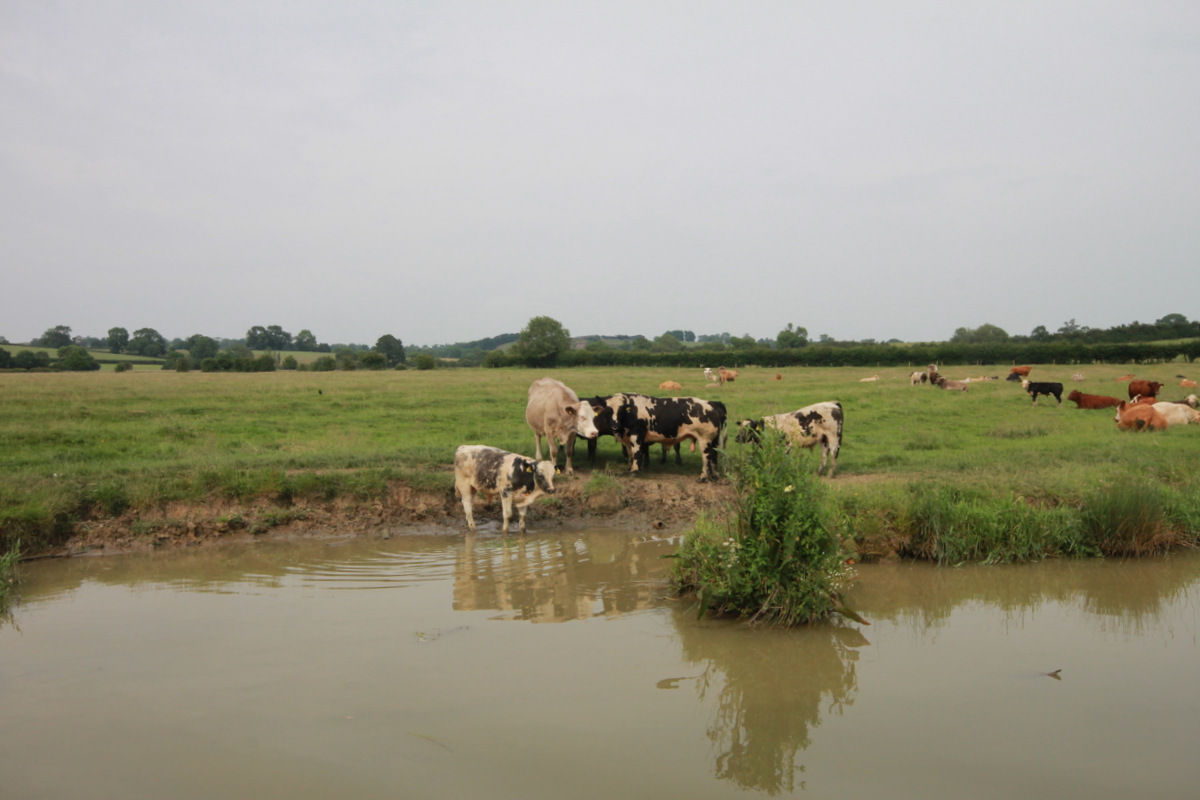 Cattle on the canalside