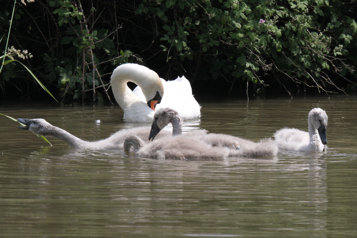 Swans with older cygnets 2